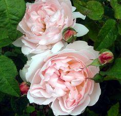 david austin sharifa asma rose   pink rose pictures mooseyscountrygarden com images roses pink rose ...