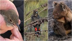 Eighty per cent of the one billion animals predicted to die during the bushfire crisis will be reptiles, experts warn, with koalas making up the tip of the iceberg -- here are the species most under threat this summer. Reptiles, Mammals, Study Site, Australia Kangaroo, Kangaroo Island, Quokka, Pretty Tough, Cockatoo, Habitats
