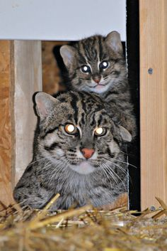Parken Zoo in Sweden welcomed a new Fishing Cat on May 24. The little one, whose sex is not yet determined, is doing well and will nurse from its mother until it reaches about six months in age. The birth is wonderful news for conservation, as the Fisher Cat is an endangered species. See and read more at ZooBorns: http://www.zooborns.com/zooborns/2013/08/fishing-cat-parken-zoo.html