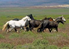 Heinous BLM Roundup = Slaughter 4 #Mustangs | Hippies for Horses