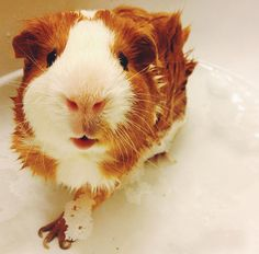 This looks like my old Guinea pig, Clemmins :..( R.I.P <3