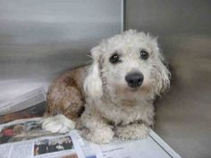 A1490443I am an unaltered male, white Poodle - Miniature.  The shelter thinks I am about 1 years and 0 months old.  I have been at the shelter since Jul 04, 2014.Poodle - Miniature1 yr, 0 moWest Los Angeles Animal Care and Control Center