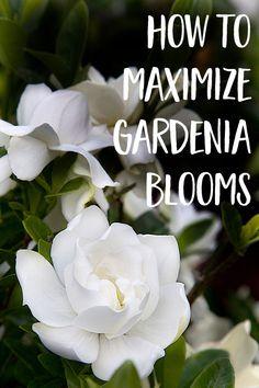 How to maximize gardenia blooms - Southern Living Plant Experts - Gardenia Care, Gardenia Bush, Gardenia Indoor, Covent Garden, Dubai Miracle Garden, Magic Garden, Olive Garden, Chinese Garden, Vegetable Garden Design