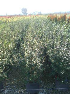 Osmanthus burkwoodii / Frühlings-Duftblüte - Kleiner Strauch (2-3m hoch) mit weißen, achselständigen Blüten, die einen wunderschönen Duft verbreiten