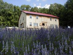 Peace Valley Lavender Farm in Bucks County Pa. must go this summer!