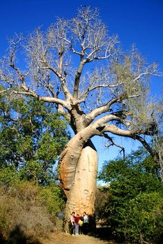 The baobab tree has an enormous barrel-like trunk which may reach a diameter of 9m and a height of 18m. Description from pinterest.com. I searched for this on bing.com/images