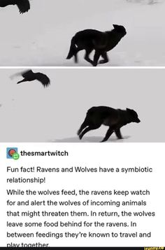 Ravens and Wolves have a symbiotic relationship! While the wolves feed, the ravens keep watch for and alert the wolves of incoming animals that might threaten them. In return, the wolves leave some food behind for the ravens. In between feedings Cute Funny Animals, Funny Cute, Animals And Pets, Baby Animals, Raven And Wolf, The Raven, Wtf Fun Facts, Dragon Age, Animal Memes