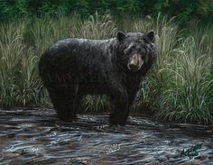 """Realism by Amy Keller-Rempp Art. """"A Touch Of Light"""", by acrylic on wood. Original still available, very popular in giclee print and fine art cards. A little gem left, the details in the grass and the bear is astounding. Aboriginal Artists, Print Format, Black Bear, Giclee Print, Wildlife, Fine Art, Art Cards, Painting, Animals"""