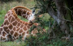 Giraffe fast asleep, with curled neck and its head resting on its rump. #travel #safari #Africa #wildlife #wild #nature #animals #mammals #giraffe #neck #rest #sleep Prey Animals, Nature Animals, Wild Animals, How Do Giraffes Sleep, Little Giraffe, African Tribes, How To Get Sleep, Large Animals