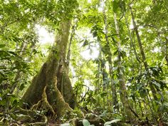 amazon rainforest trees - Google Search