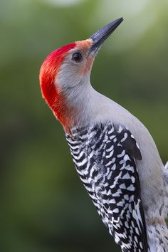 Red Bellied Woodpecker by Rick Joudrey on 500px