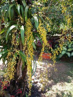 Orquidea lluvia de oro