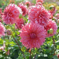 Die Dahlie 'Islander' liebt die Sonne. Mit genug Licht und Wärme bildet sie ihre wunderschönen verspielten Blüten. Pflanzzeit ist im Frühling. Knollen gibt's bei www.fluwel.de