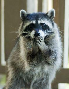 A surprised raccoon.
