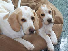 Lemon beagles.