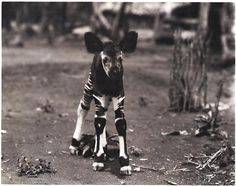 Cute Funny Animals, Funny Cute, Throwback Pictures, Okapi, Weird Creatures, Animals Of The World, Zebras, Giraffes, Beautiful Creatures