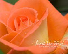 Breath of Desire: Orange Rose Photography Nature, Creamy Orange -  via Etsy.