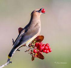 Cedar Waxwing eating a berry