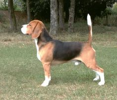 Beagle - Wow! Look at how straight up that tail is.