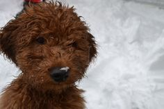 Our Mini Man Irish!  he loves to play in the snow!  Mini Golden Doodle Love *puppy