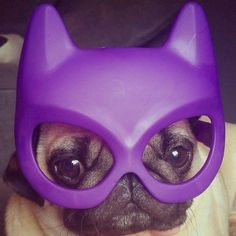It is time to meet another adorable pug from the social media scene. This week it is the super cute Barry. Head on over and get to know @barry_the_puggy at www.thepugdiary.com #thepugdiary #socialpugprofile