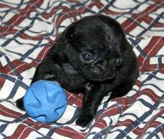 Dorys (Disponível) Um de Nossos Filhotes de Pug