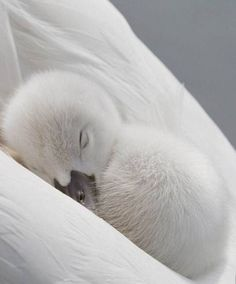 Sweet fluffy white Cygnet nestled in his mother's wings Pretty Birds, Beautiful Birds, Animals Beautiful, Cute Creatures, Beautiful Creatures, Nature Animals, Animals And Pets, Cute Baby Animals, Funny Animals