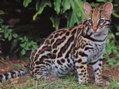 Ocelot - also known as the dwarf leopard, this nocturnal cat has some nice distinct patterns on its coat. It is an adaptable night stalker. I Love Cats, Big Cats, Cute Cats, Pumas, Jaguar, Safari, Baby Animals, Cute Animals, Clouded Leopard