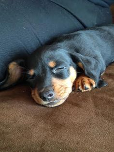 Gallifrey (There's NOTHING like a dachshund puppy!)