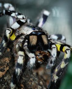 Poecilotheria Regalis / Indian Ornamental Tarantula Care Sheet