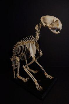 Skulls and Bones Cat Skeleton, Skeleton Bones, Skull And Bones, Skeleton Figure, Skeleton Makeup, Skull Makeup, Anatomy Bones, Cat Anatomy, Animal Anatomy
