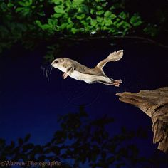 southern flying squirrel | WP11466 Southern Flying Squirrel ( Glaucomys volans ) leaping into mid ...
