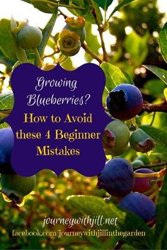 Growing blueberries? By avoiding these 4 common beginner mistakes, you'll have blueberries for years to come!