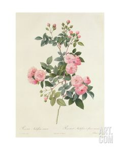 Rosa Multiflora Carnea Giclee Print by Pierre Joseph Redoute at Art.com