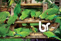 Hora do lanche para os papagaios em Bonito, Mato Grosso do Sul, Brasil / Brazil