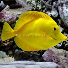 This is a yellow tang and comes from Hawaii.  I have one of these too.