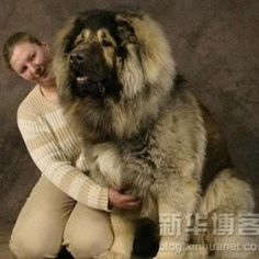 The Tibetan Mastiff, is an ancient breed and type of domestic dog originating with nomadic cultures of Central Asia