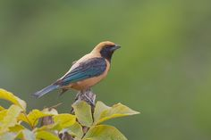 Male Burnished-buff Tanager (Tangara cayana) by Bertrando Campos on 500px
