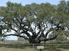 The Goose Island Oaks ~ Live oak trees, estimated to be about 1000 years old.  Goose Island State Park, Rockport, Texas.