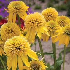 Eccentric Yellow Echinacea | Jung Garden and Flower Seed Company