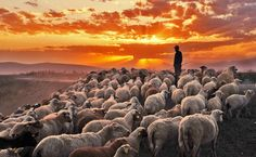 the sheep know their shepherd's voice