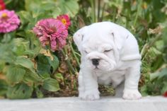 White English Bulldog Puppy.