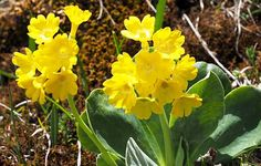 Free Image on Pixabay - Auricula, Alpine Auricula, Flowers Free Pictures, Free Images, Alpine Flowers, Mountain Resort, Herbalism, Detox, Health, Medicine, Plant