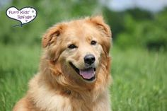 Meet Mia, an adoptable Golden Retriever looking for a forever home. If you're looking for a new pet to adopt or want information on how to get involved with adoptable pets, Petfinder.com is a great resource.