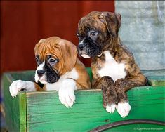 Boxer Puppies...If I saw this, I would just take them.  Those eyes do not allow walking away.