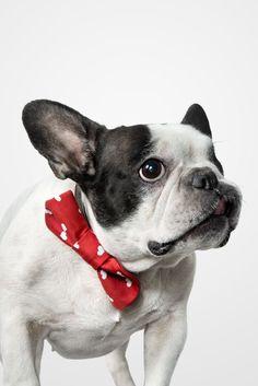Black, white and red= style Joko, Boston Terrier, Black White, Red, Animals, Style, Black And White, Swag, Boston Terriers