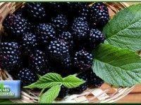Estudo Japonês sobre os Benefícios da Amora Miura Health And Wellness, Health Fitness, Menu Dieta, Yummy Food, Tasty, Alternative Medicine, Food Videos, Food And Drink, Low Carb