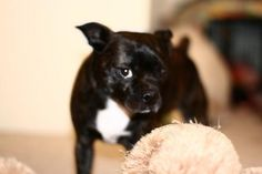 Miniature Boston Terrier Pictures Page 1 9 Here is why I PawSitively love Boston Terrier