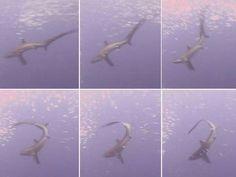 El tiburón que caza a sus presas a 'latigazos' (vía El Mundo)