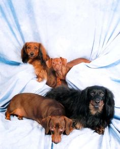 so many different kinds of wiener dogs to love!